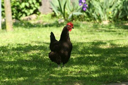 AOC pour la poule noire