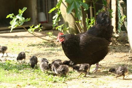 Crise aviaire : des avances remboursables pour la filière aval